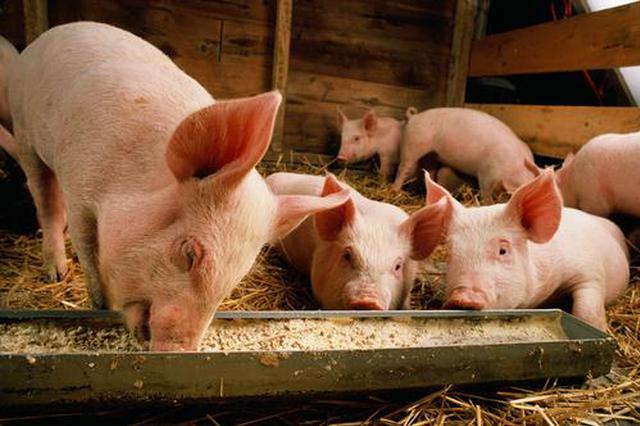 湖南全力确保活猪安全稳定供港 供澳业务恢复