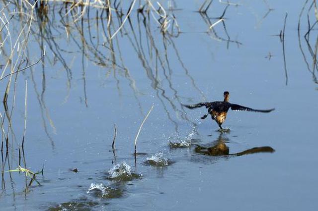 """东洞庭湖上的候鸟""""华尔兹"""""""