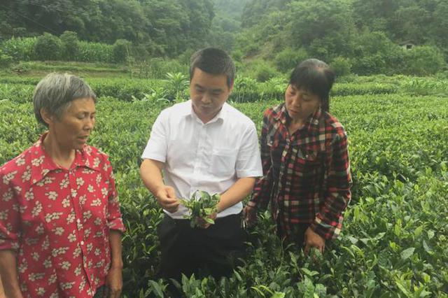 科学农事 |春季茶园管理,茶树养护,听茶叶专家王沅江的建议就对了!