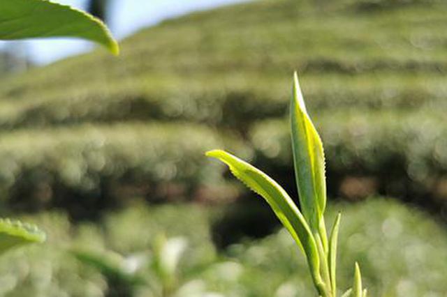 春茶吐绿 湖南春茶开采