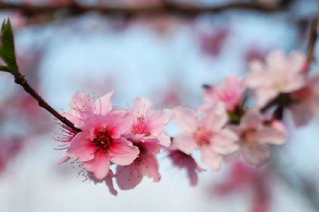 湖南新田:桃花朵朵开 赏花正当时