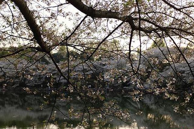 组图丨人间最美芳菲处 傍晚的樱花湖如粉色海洋