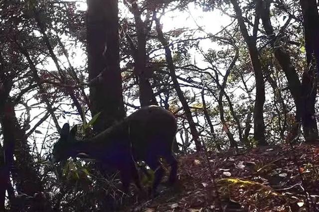 惊喜!郴州莽山发现全球性濒危物种,能分泌麝香