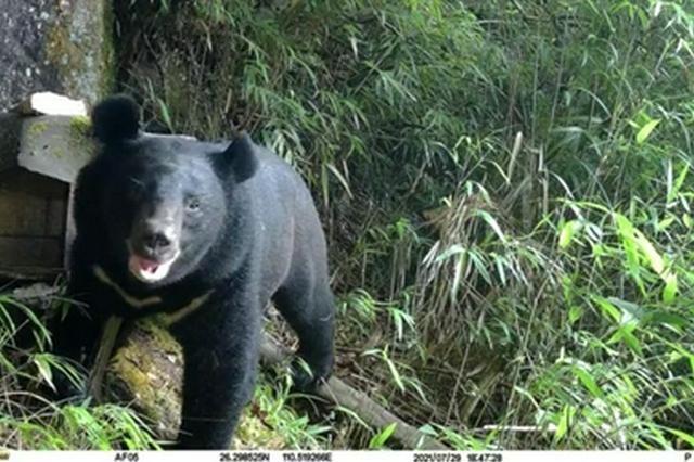 邵阳南山首次拍到黑熊觅食蜂蜜!管理处:拍到的是公熊,正努