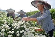 凤凰:引进百亩七月菊 促民就业增收