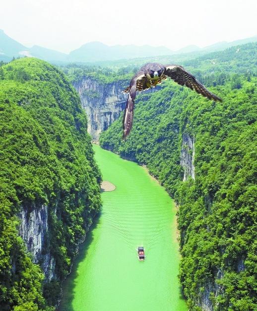 6月9日,一只隼飞过风景秀美、河清岸绿的茅岩河风景区。当天,经过两年提质升级建设的张家界西线旅游景区以全新面貌问世。湖南日报记者李健摄