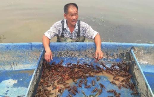 5月3日,长沙县果园镇花果村一龙虾养殖基地,养殖户正在捕捞龙虾。 记者 李成辉 摄