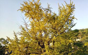 古村落百年银杏 把秋天渲染到了极致