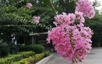 秋天!来五岭广场畅享一场紫薇盛宴