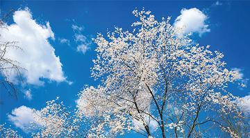 湖南这个地方野生樱花漫山遍野