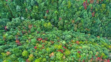 齊云峰國家森林公園漫山彩林 格外嬌美