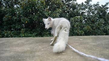 長沙岳麓山上發現一只傷病北極狐
