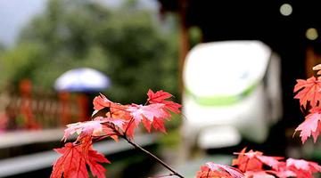 張家界武陵源:紅楓染秋引游人