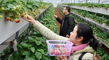"""江华:""""立体草莓""""成熟上市"""