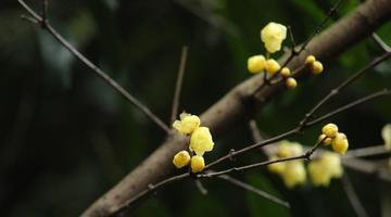 若赏通道在腊月 一树梅花赛白雪