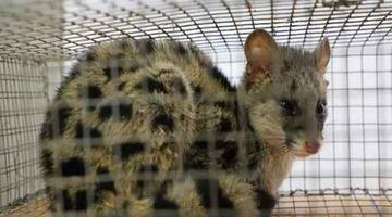 衡东现国家二级重点保护野生动物斑林狸