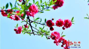 绥宁:桃花盛开春意浓