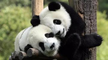 8只大熊猫从四川都江堰落户凤凰