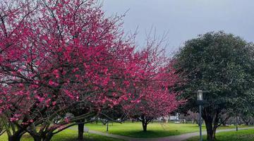 周末赏花去!长沙各大公园早樱、梅花开了