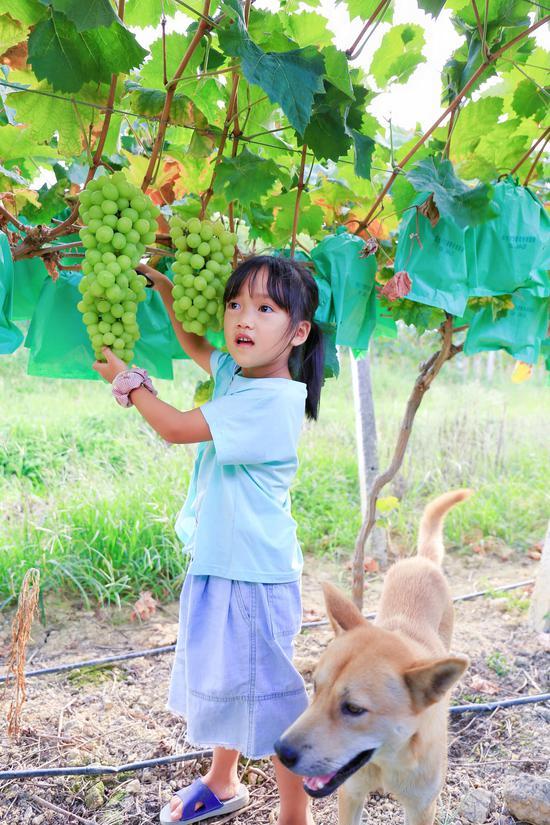 兰王庙葡萄园体验采摘