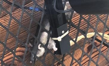 5月14日,喻小姐在餐厅就餐时,在餐桌正上方发现一只死老鼠。当事人供图