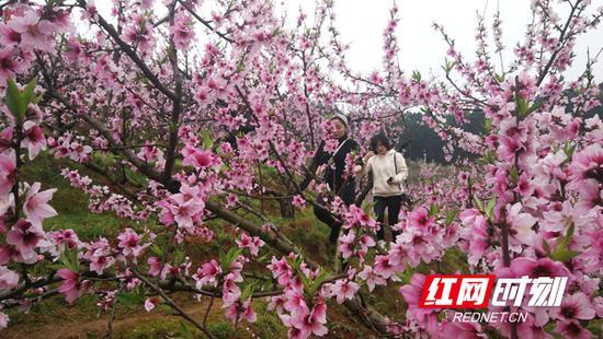 桃花遍地红,游客沉浸其中。