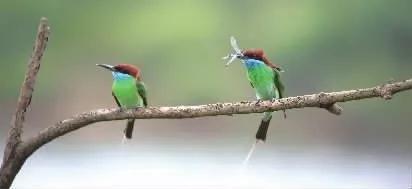 蓝喉蜂虎。刘斌摄于长沙县。