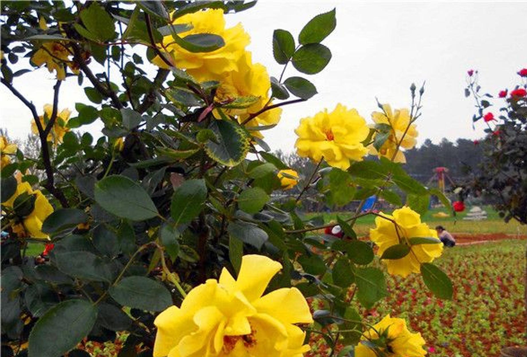 省植物园2万多株玫瑰花海盛放