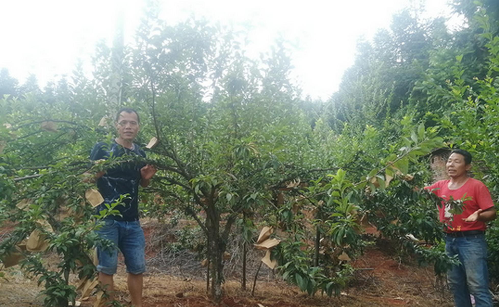 汝城县文明瑶族乡二都村,望不到边的果园满目葱茏,挂满了沉甸甸的果实。