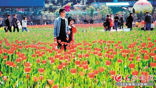 """在湖南省森林植物园,人们徜徉在郁金香""""花海"""",感受春天的美好。长沙晚报记者 周柏平 通讯员 彭炜 摄影报道"""