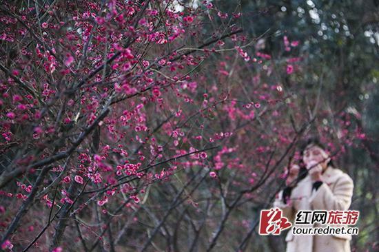 """湖南省植物园绽放""""冬之韵"""" 梅花茶花斗艳"""