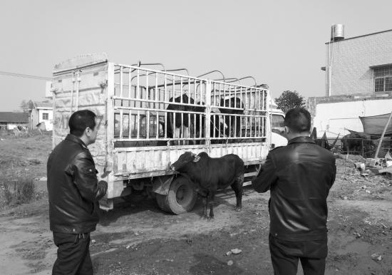 12月4日,长沙雨花区花桥村,执法人员对临时牛场进行执法检查。   组图/本报记者