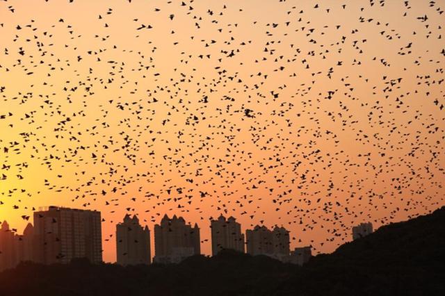 上万只鸟突现岳阳金鹗山 呈现万鸟齐飞壮观景象