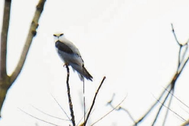 怀化沅陵发现国家二级保护动物黑翅鸢