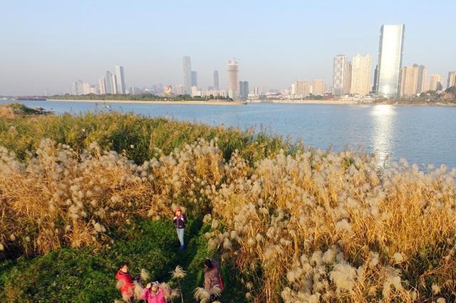 长沙一公园芒草芦苇盛开美不胜收 成休闲好去处