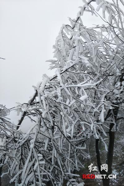 南岳现雾凇冰挂景观 玉树琼花宛如仙境