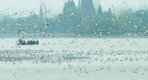 12万余只水鸟飞临洞庭湖场面壮观