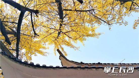 """长沙岳麓山已现最佳""""枫""""景"""