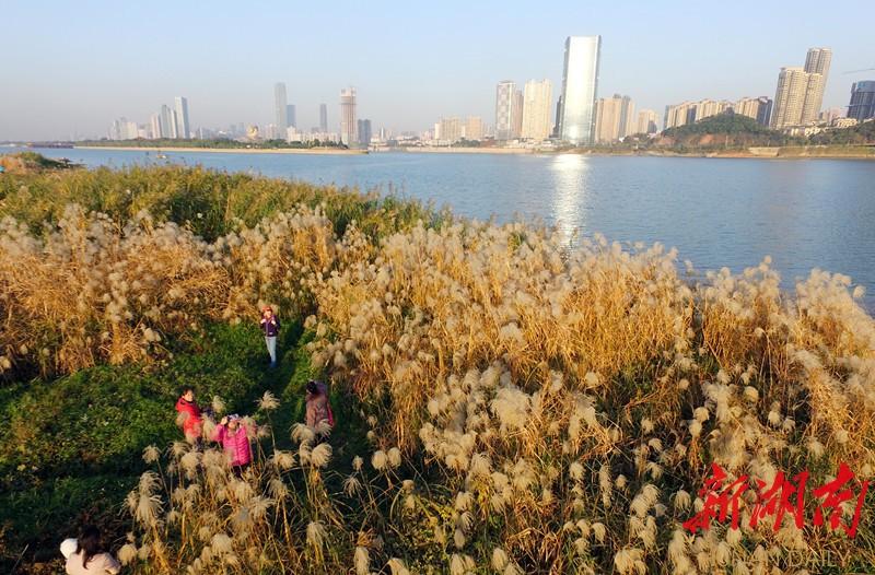 长沙一公园芒草芦苇盛开美不胜收