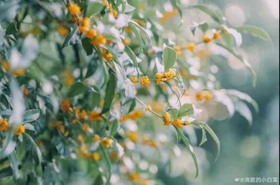 江苏的第一缕桂花的香来了