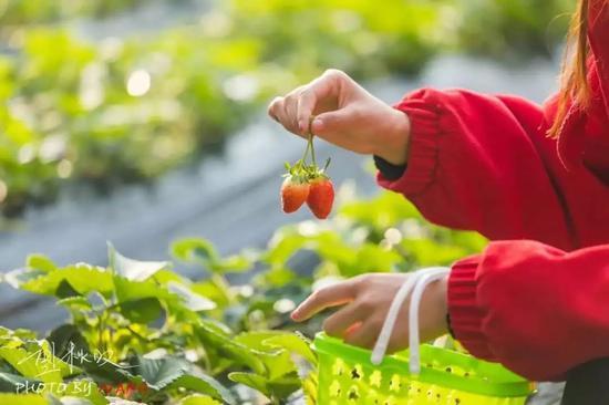 草莓季来了,周末约起~