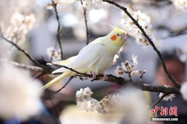 """南京春意盎然 鸡尾鹦鹉""""赏""""樱引围观"""