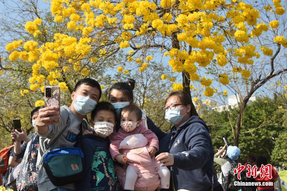 香港春暖花开 南昌公园黄花风铃木花开灿烂
