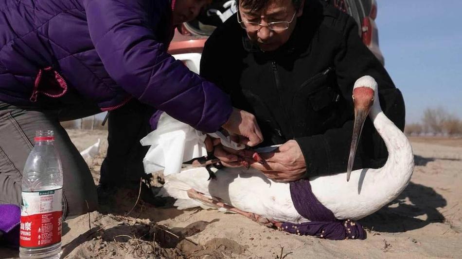一级重点保护动物白鹤遭猎杀 专案组联合缉凶