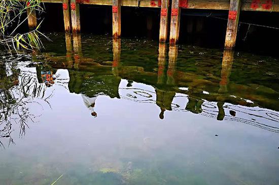 """太湖湖滨湿地生态保护成效明显,再现""""水草摇曳,鱼翔浅底""""景象。澎湃新闻记者 林平 图"""