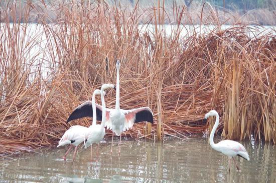 鸟岛的入岛口有鸟食提供,买上一两份鸟食,转个弯便遇到蠢萌的羊驼。