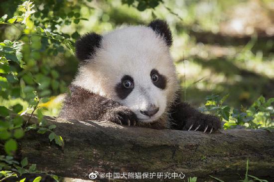 图片来源 中国大熊猫保护研究中心官方微博