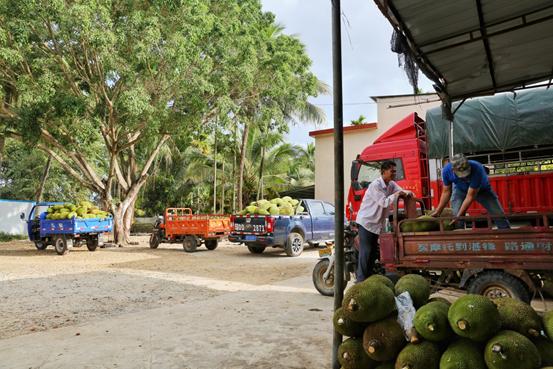 ▲工作人员正在往运输车上搬运菠萝蜜,满载菠萝蜜的车辆将开往曹路团队的海南海口仓。菠萝蜜在仓内完成分拣、打包后,将迅速发往全国各地。(覃凡 摄)