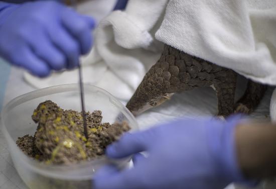 救护人员将鸡蛋黄淋在蚁巢上,吸引穿山甲进食。 受访者供图