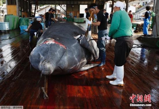 资料图:日本千叶县屠鲸厂的工人在宰杀鲸鱼。